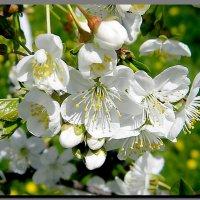 весна !  весна !  весна ! :: Ivana