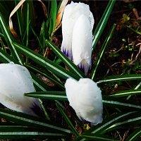 Белые крокусы :: Natali