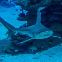 акула :: Адик Гольдфарб