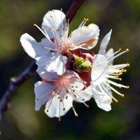 Абрикосы в цвету!!! :: Nina Streapan