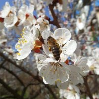 Абрикосовый цвет... :: Сергей Петров