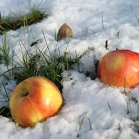 Яблоки на снегу :: Сергей