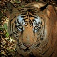 Бенгальский тигр :: Demian