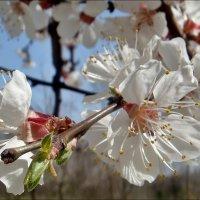 Весеннее настроение. Цветут абрикосы :: Нина Корешкова