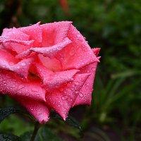 Утрняя роза... :: Екатерина Гудковская