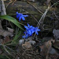 Первые цветы :: Юрий Клишин