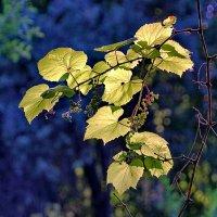 Дикий виноград. :: Andrey Nemo