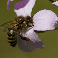 Весна. Пчелинный нектар :: Александра Михайлова