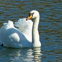 Лебедь белая :: Александр Запыленов