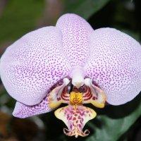 Цветок фаленопсиса :: Александр Витебский