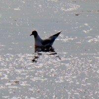 Чайка на воде :: U. South с Я.ру