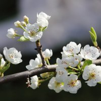 Груша цветет :: Marina K