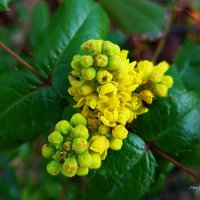 Муравей на жёлтом цветке :: Nina Yudicheva