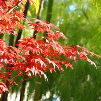 Красные листья клена :: Николай Танаев