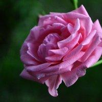 Розовая Роза.... :: Екатерина Гудковская