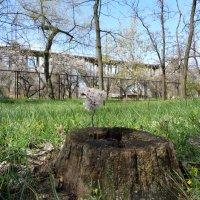Чудо обновления: весной даже старые пни расцветают :: Алекс Аро Аро
