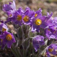 Загадочный цветок прострел :: Елена Ахромеева