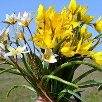 Букет диких тюльпанов :: Виктор Шандыбин