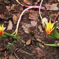 первые тюльпаны :: Alexander Varykhanov