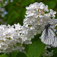 Сирень и бабочка :: Татьяна Соловьева