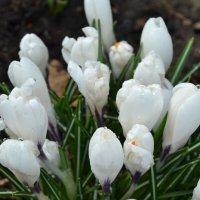 Белые крокусы. :: zoja