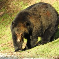 черный медведь :: svabboy photo