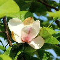 Цветок тюльпанного дерева :: Светлана