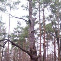 Дерево. :: Ольга Кривых