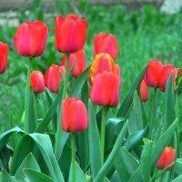Тюльпаны :: Ирина Cемко