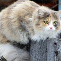 Сидела кошка на заборе.. :: Галина Полина