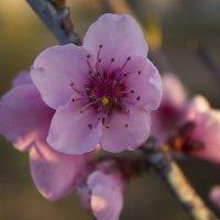 цветет дерево :: олег мысак