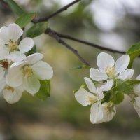 яблоня цветет... :: Лариса Н