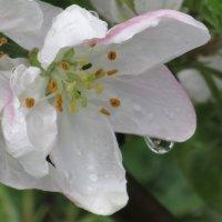Цветок яблони после дождя. :: Вячеслав Медведев