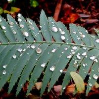Капли дождя :: Герович Лилия