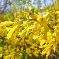 Буйное цветение форзиции! :: Наталья