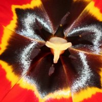 бабочка в сердце тюльпана :: Хэлен ***