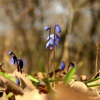 Первоцветы :: Валентина Домашкина