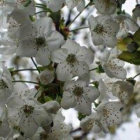 ой цветет черешня... :: Александр Корчемный