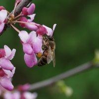 Пчела на цветке церциса :: Balakhnina Irina