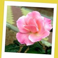 Розовая роза. :: Герович Лилия