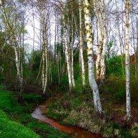 Берёзки в апреле :: Nina Yudicheva
