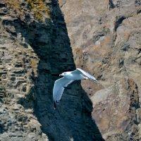 Чайка :: Дмитрий С.