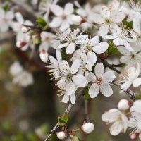 яблони цветут.. :: юрий иванов