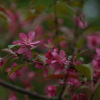Цветение дикой яблони :: Balakhnina Irina