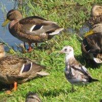 Чайка и утки :: Дмитрий Никитин