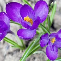 Вышли трое по весне :: sorovey Sol
