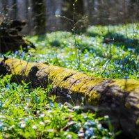 Весна в лесу :: Roman Rez