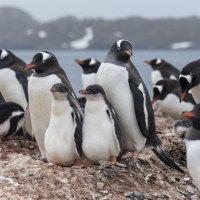 Семья пингвинов :: Alexey alexeyseafarer@gmail.com