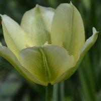Тюльпаны моего сада. :: Наталья Петракова