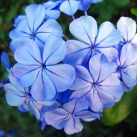 Голубые цветы :: Lukum
